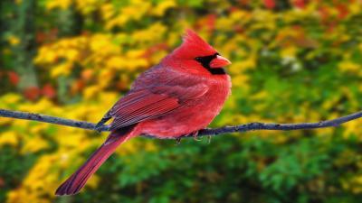 Cardinal Bird Computer Wallpaper Pictures 52166