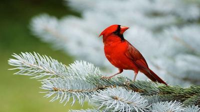 Cardinal Bird Desktop Wallpaper 52163