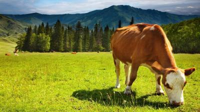 Cow Animal Desktop Wallpaper 51973