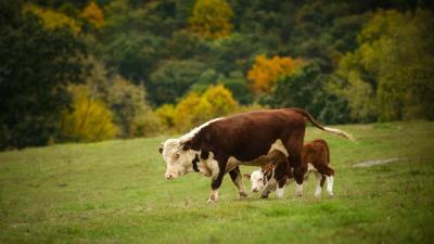 Cow Desktop HD Wallpaper 51974