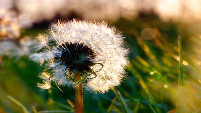 Dandelion Flower Widescreen HD Wallpaper 52362