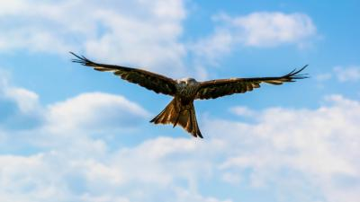 Flying Falcon Bird Widescreen Wallpaper 52728