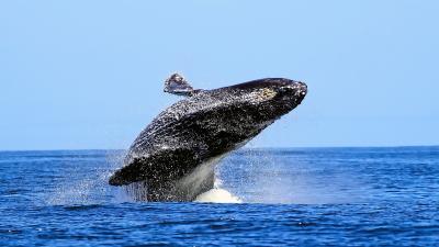 Whale Animal Desktop Wallpaper 52958