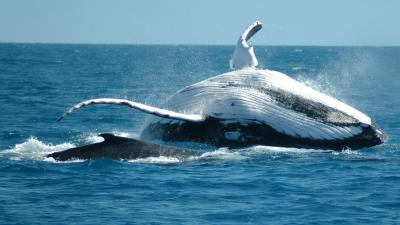 Whale Animal Wallpaper 52950