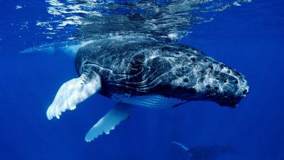 Whale Animal Widescreen Wallpaper 52963
