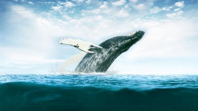 Whale Desktop Wallpaper 52964