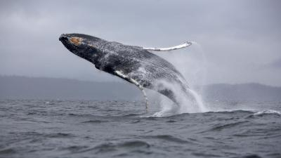 Whale Wallpaper Pictures 52956