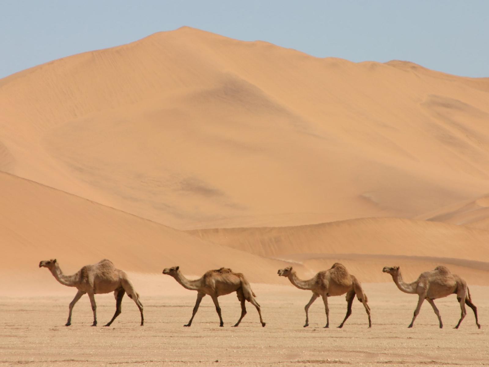camel computer wallpaper photos 52004