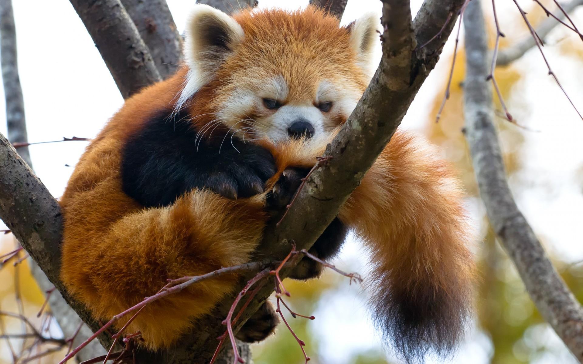red panda desktop wallpaper 50824