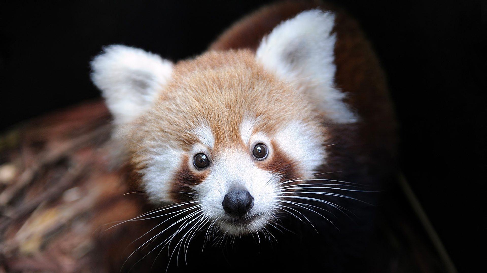red panda face wallpaper 50830