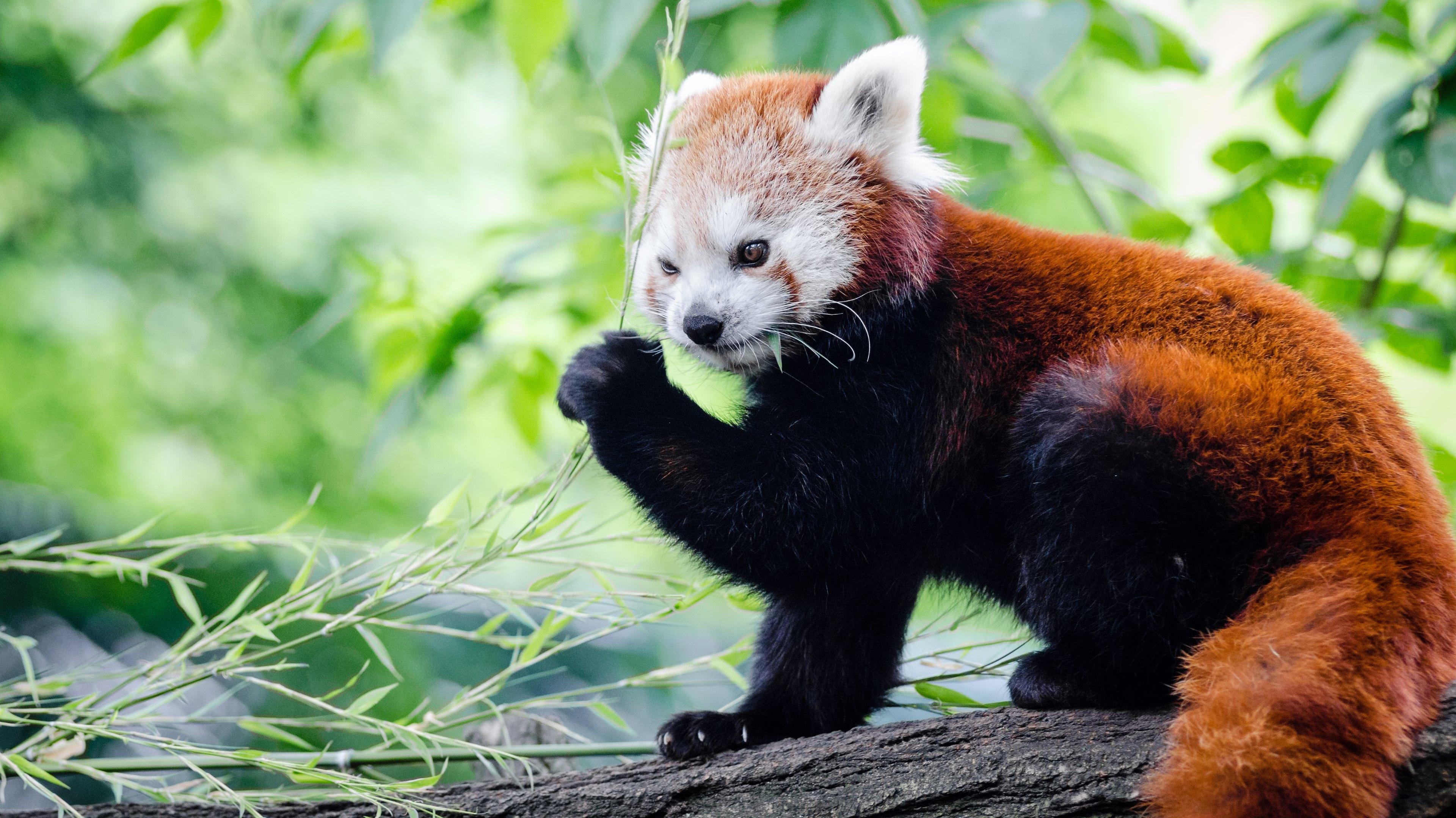 red panda wallpaper hd 50829
