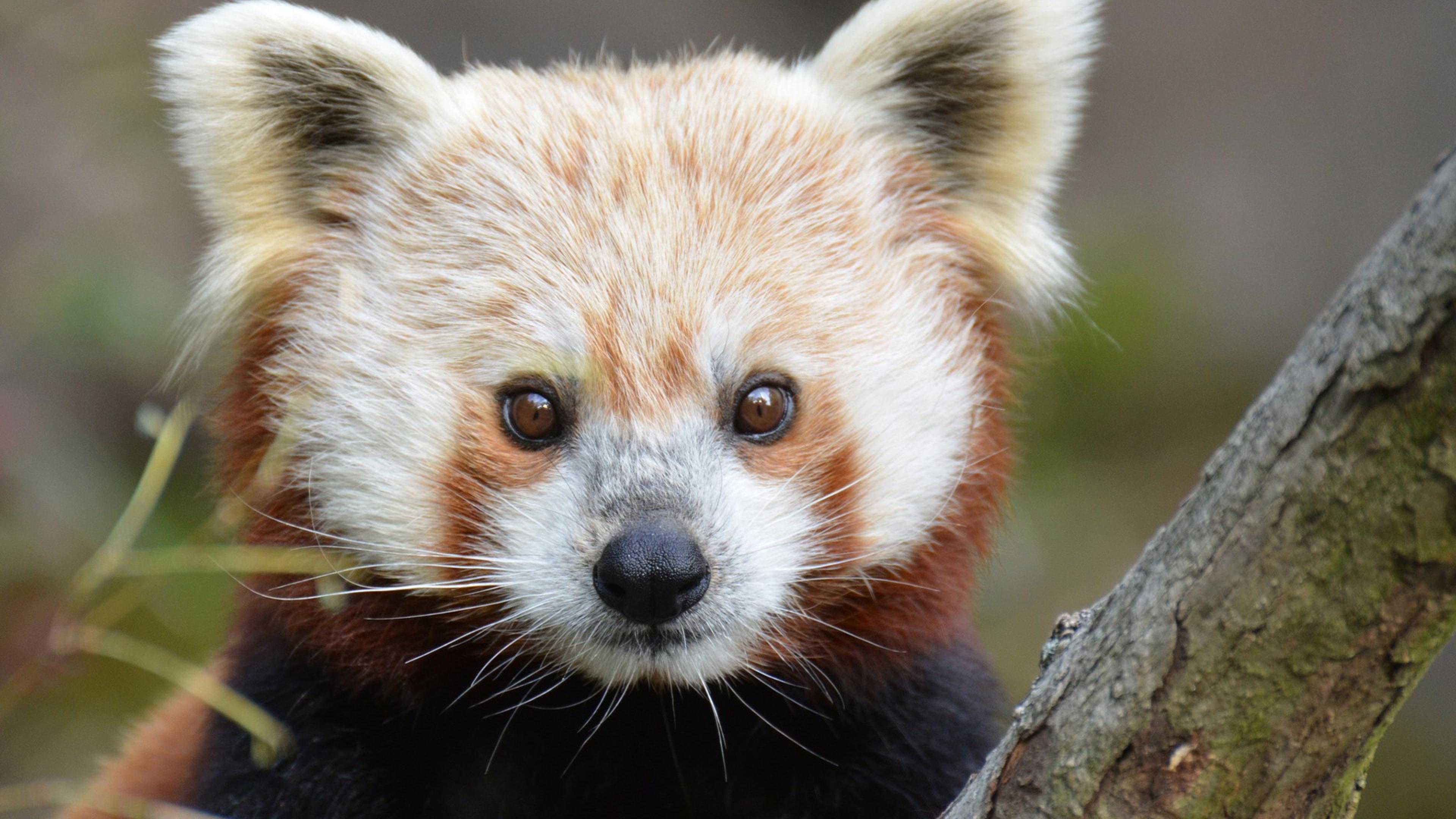 red panda wide wallpaper 50828