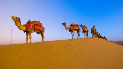 Camel Desktop Wallpaper 52002