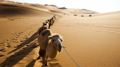 Camel Widescreen Wallpaper 52001
