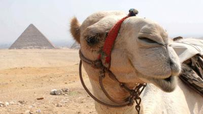 Funny Camel Face Wallpaper 52005