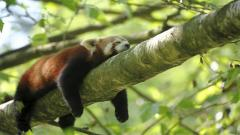 Lazy Red Panda Wallpaper 50825
