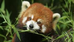 Red Panda Desktop Wallpaper 50821