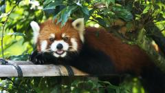Red Panda Desktop Wallpaper 50827