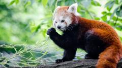 Red Panda Wallpaper HD 50829