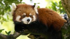 Red Panda Wallpaper Pictures 50820