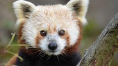 Red Panda Wide Wallpaper 50828