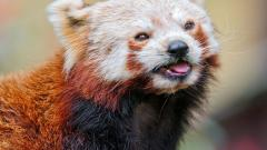 Red Panda Widescreen Wallpaper 50826