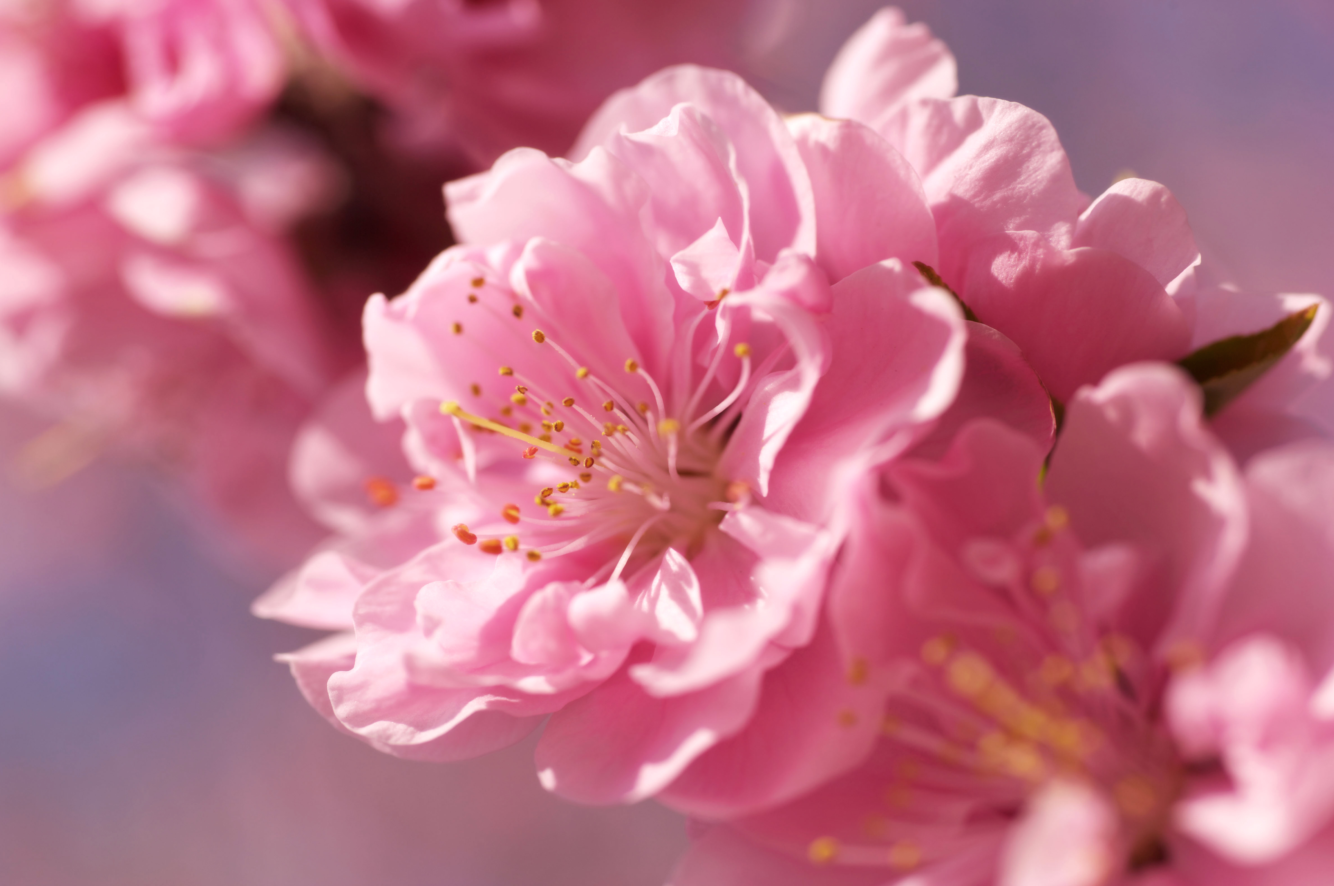 sakura flower widescreen wallpaper 51324
