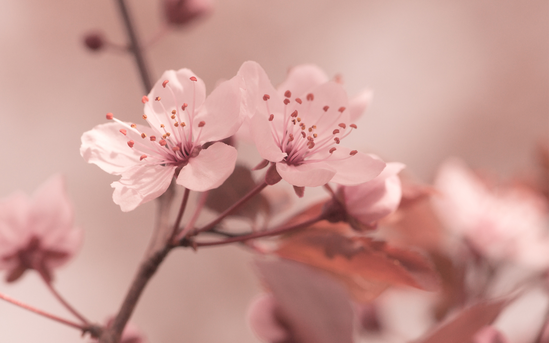 Sakura Flowers Desktop Wallpaper 51326 1920x1200px
