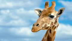 Giraffe Close Up Wallpaper Pictures 50161