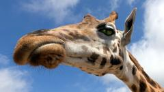 Giraffe Desktop Wallpaper 50159