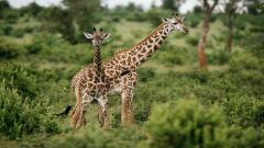 Giraffes Wallpaper 50160