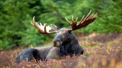 Moose Widescreen Wallpaper 50961