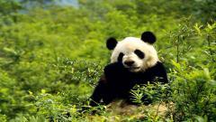 Panda Computer Wallpaper 49421