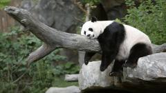 Panda Resting Wide Wallpaper 49422