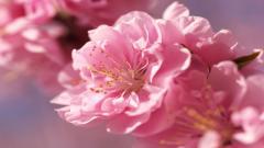Sakura Flower Widescreen Wallpaper 51324