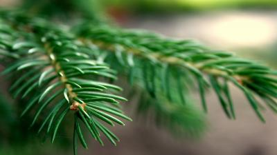 Spruce Wallpaper Background 52040