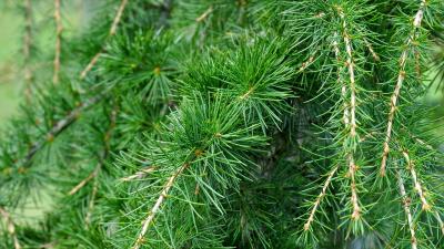Spruce Widescreen Wallpaper 52044