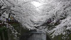 White Sakura Trees Wallpaper 51325