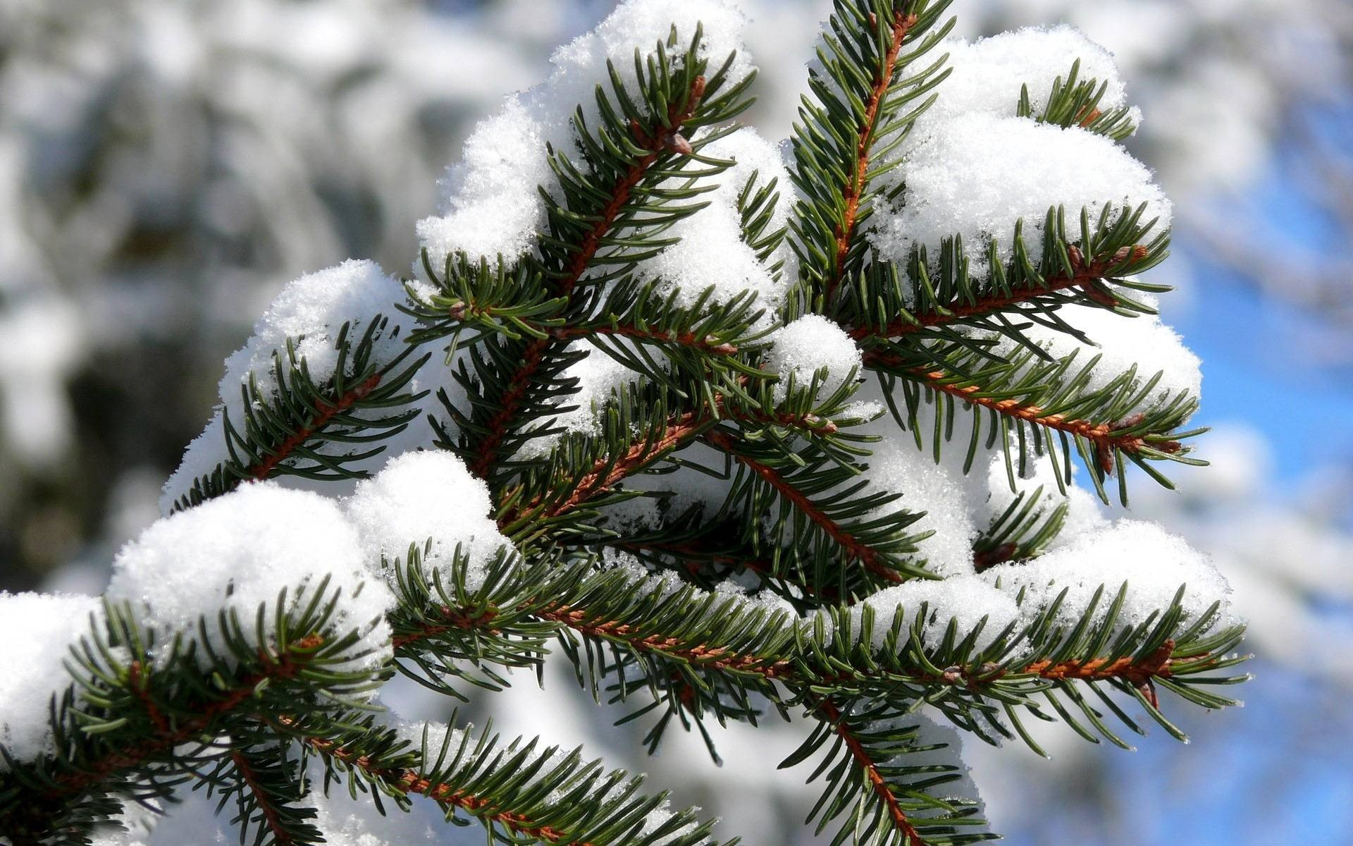 winter spruce desktop wallpaper 52039