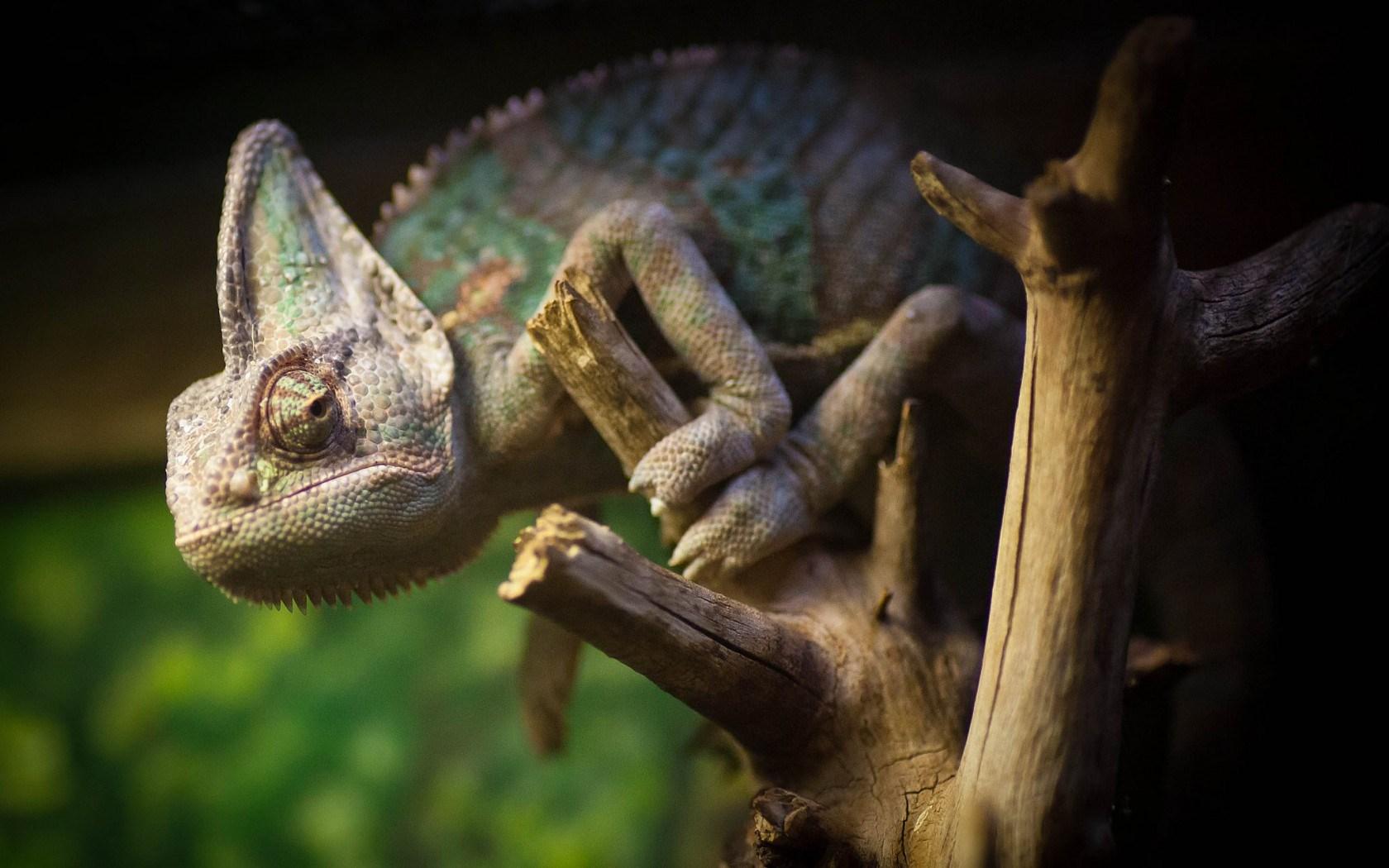 chameleon reptile computer wallpaper 49119