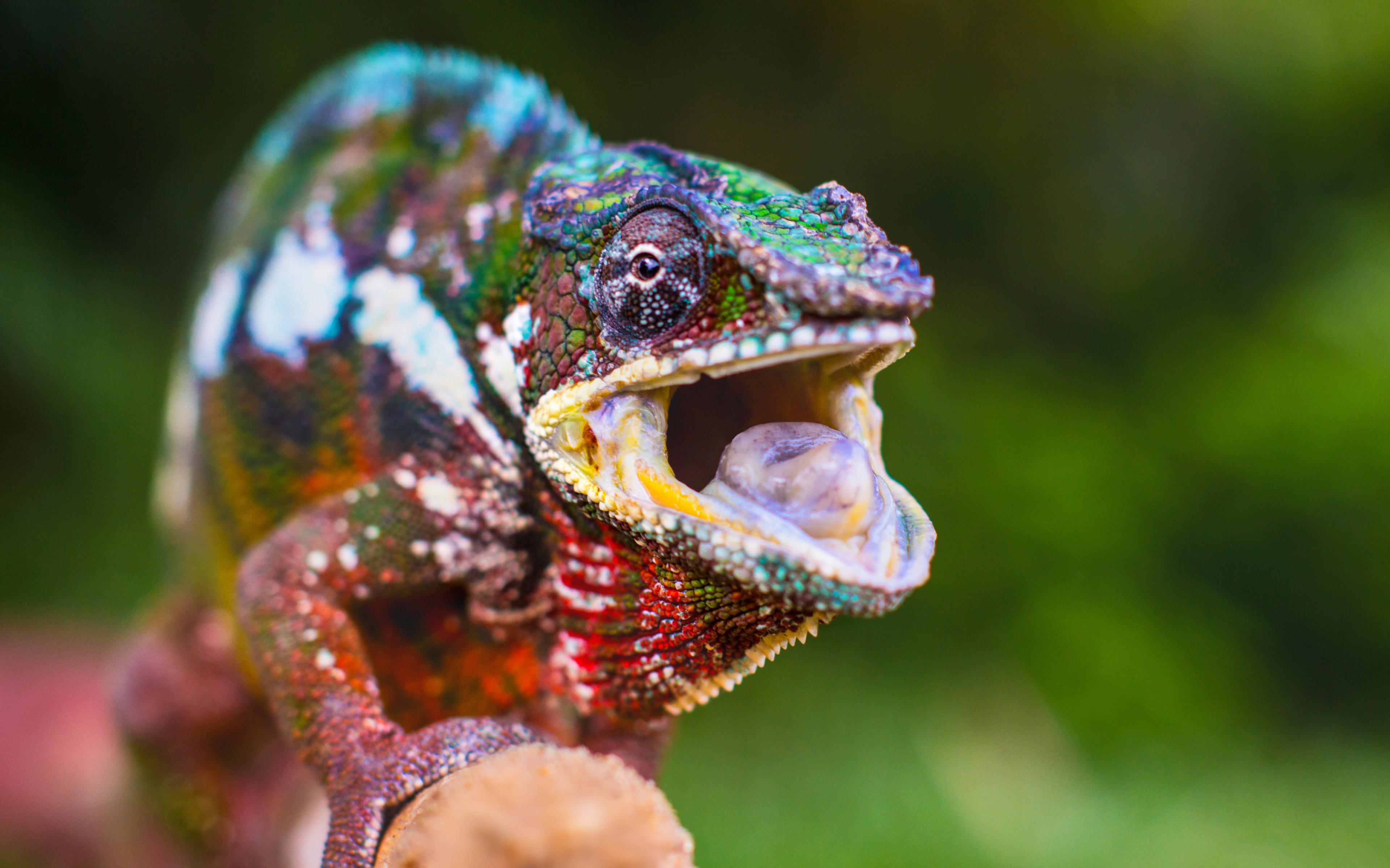colorful chameleon widescreen wallpaper 49117