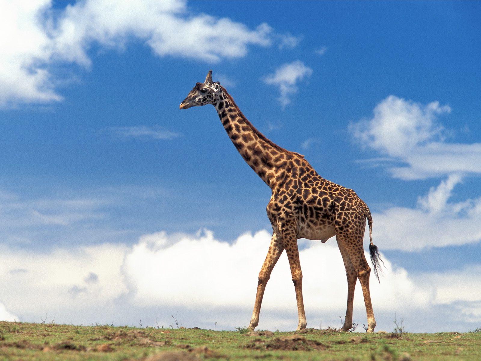 giraffe computer wallpaper 50164