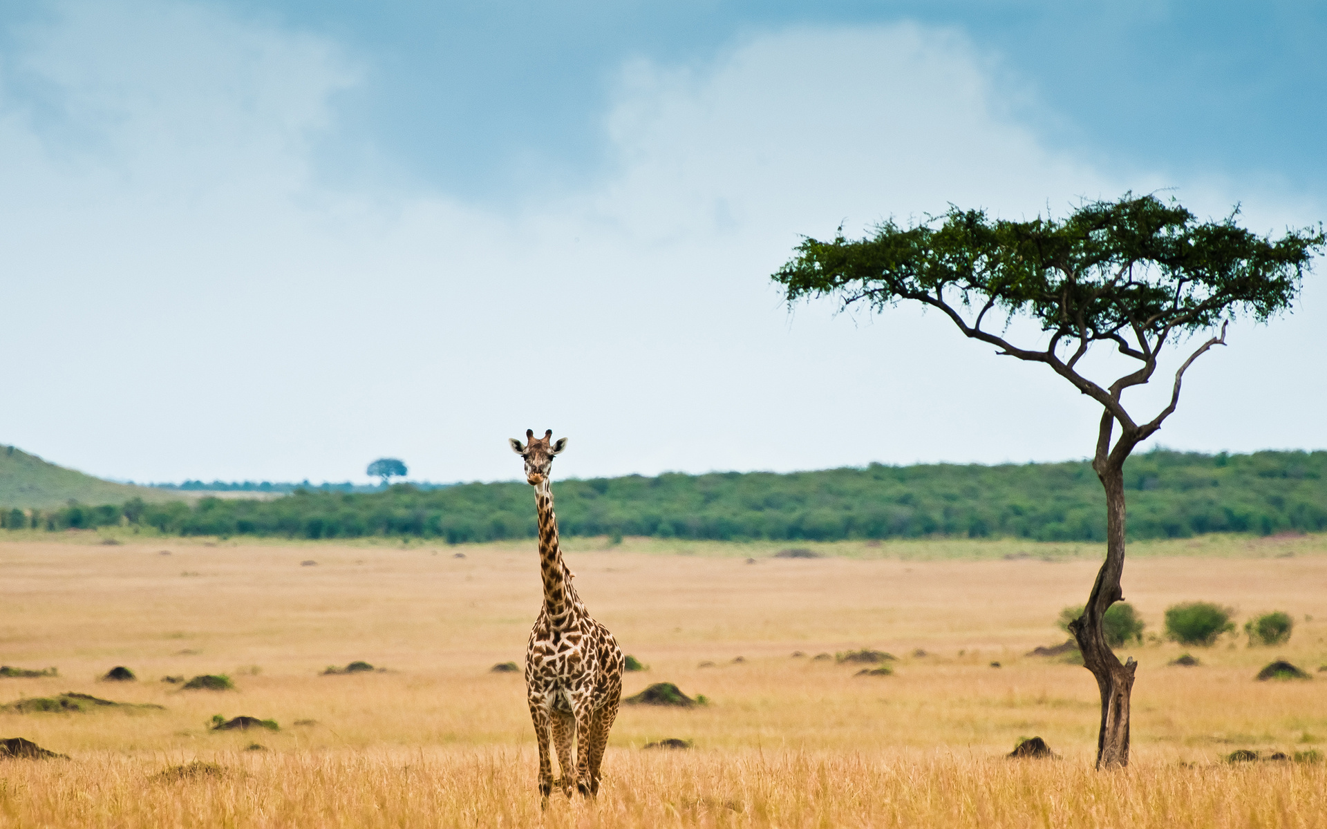 giraffe desktop wallpaper 50162