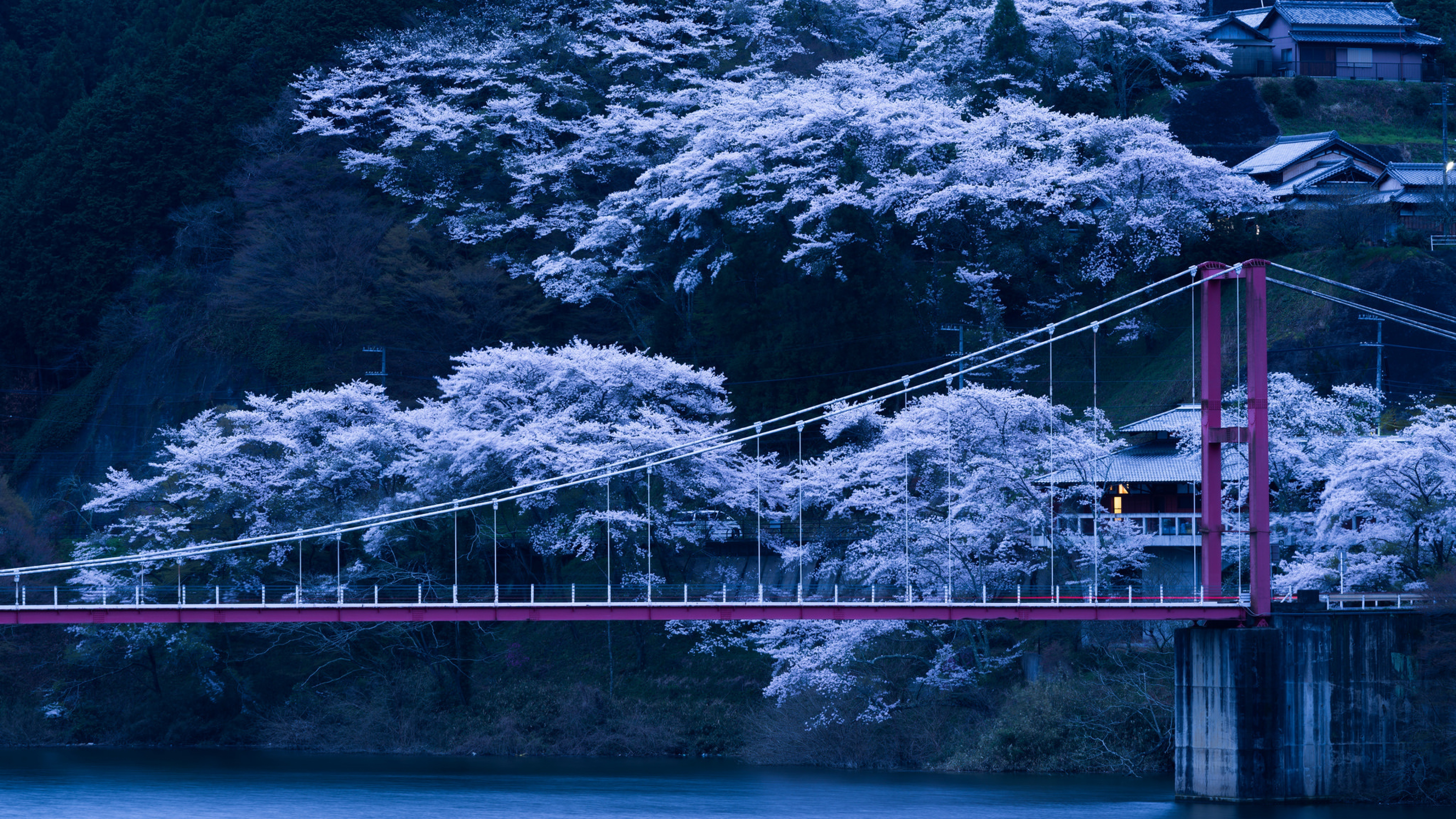 japan sakura trees wallpaper 51327
