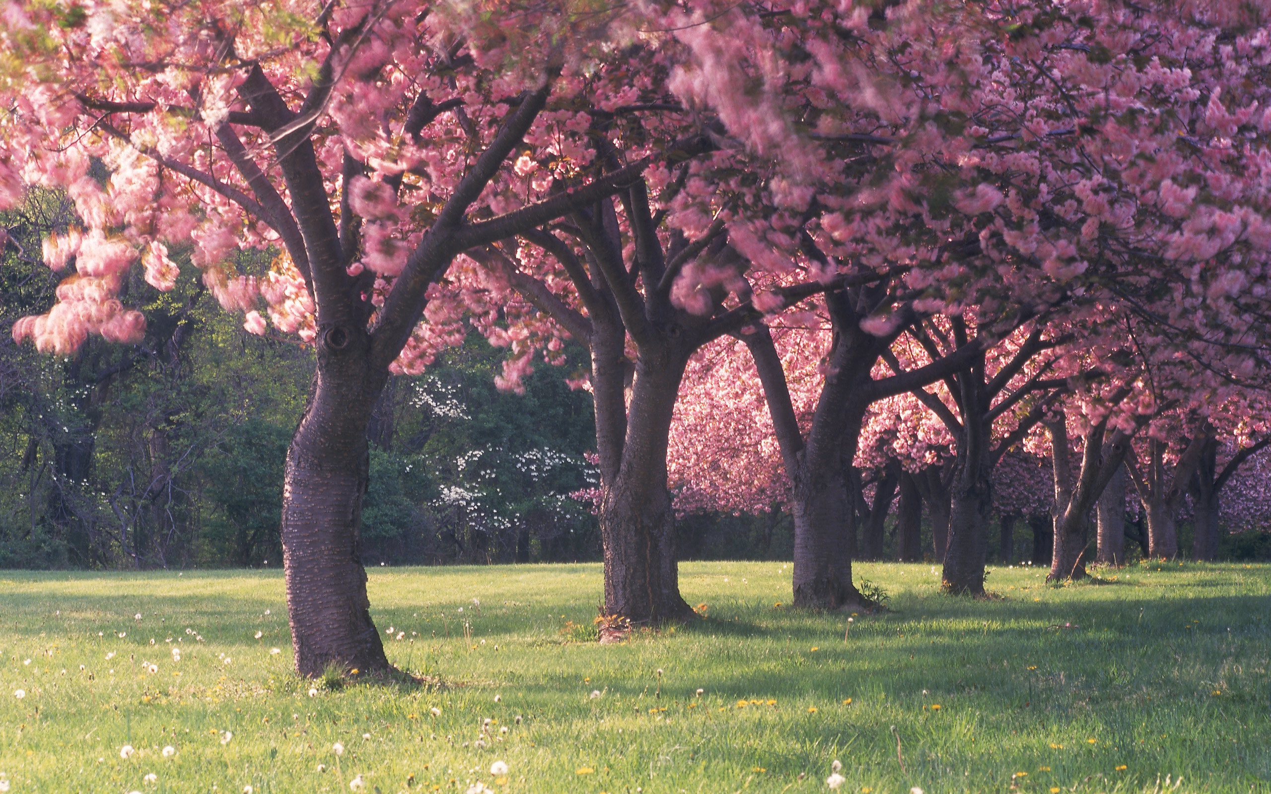 sakura trees wallpaper 51332