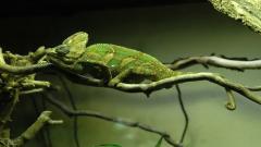 Chameleon Computer Wallpaper 49115