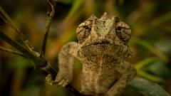 Chameleon Wallpaper HD 49113