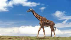 Giraffe Computer Wallpaper 50164