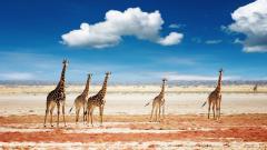 Giraffes Desktop Wallpaper 50167