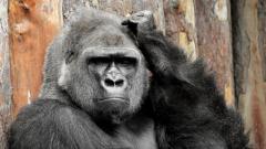 Gorilla Desktop Wallpaper 49120